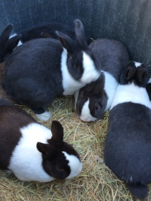 Bunnies3_little farm
