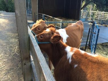 Moo Cows_little farm