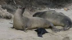 Elephant seal Tolay with her pup
