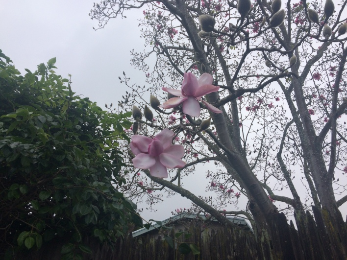 First Magnolias!