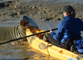 Barbie Halaska of the Marine Mammal Center tries to coax an elephant seal back toward the bay after it came up Tolay Creek near the Sonoma Raceway in Sonoma, Calif. on Tuesday, Dec. 29, 2015. (Alan Dep/Marin Independent Journal)