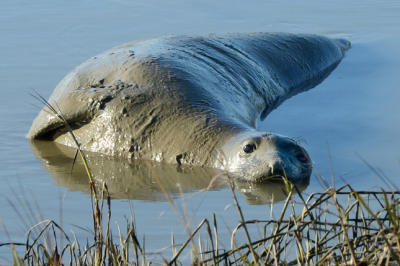 An elephant seal rests in the mud of Tolay Creek next to Highway 37 in Sonoma, Calif. on Tuesday, Dec. 29, 2015. (Alan Dep/Marin Independent Journal)