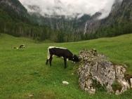 Alpine cows!